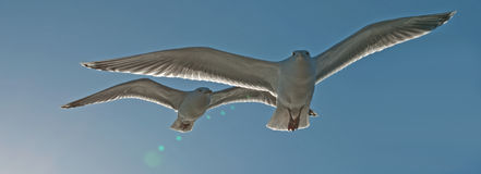 Para seagulls Zdjęcia Royalty Free