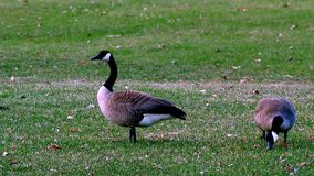 Para Siwieję Kanada gąski na gazonie park w Minnestoa w wiośnie furażuje zielonej trawy zbiory wideo