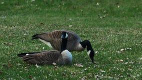 Para Siwieję Kanada gąski na gazonie park w Minnestoa w wiośnie furażuje zielonej trawy zbiory