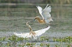 Para squacco czaple walczy w wodzie na traw płochach Zdjęcie Stock