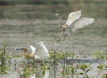 Para squacco czaple walczy w wodzie na traw płochach Fotografia Stock