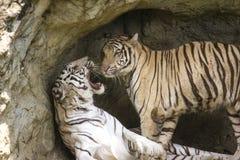 Syberyjski tygrys Zdjęcia Stock