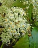 Para trás da vespa em flores de Fatsia Japonica Fotos de Stock
