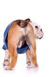 Para trás de um filhote de cachorro inglês do buldogue Fotografia de Stock