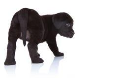 Para trás de um retriever de Labrador preto Imagens de Stock Royalty Free