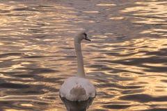 Para trás de uma cisne Foto de Stock