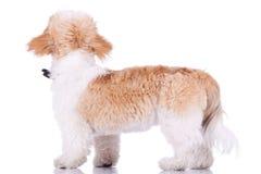 Para trás de uma posição do filhote de cachorro do tzu do shih Imagens de Stock Royalty Free