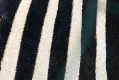 Para trás de uma zebra real imagens de stock