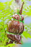 Para transplantar a árvore Fotografia de Stock Royalty Free