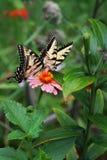 Para Tygrysi Swallowtail motyle karmi na różowe cynie Zdjęcie Stock