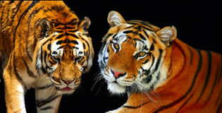para tygrysy Obrazy Royalty Free