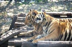Para tygrysy z romansową sceną Zdjęcie Stock
