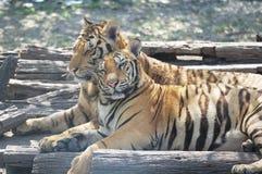 Para tygrysy z romansową sceną Obrazy Stock