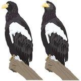 Eagles Zdjęcia Royalty Free