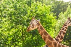 Para widzii szyje i głowy na zielonym liścia tle żyrafa portret Fotografia Stock
