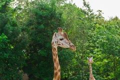 Para widzii szyje i głowy na zielonym liścia tle żyrafa portret Obrazy Royalty Free
