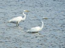 Para Wielki Egrets Watować Obraz Royalty Free