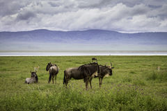 Para wildebeest Obraz Royalty Free