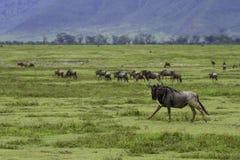 Para wildebeest Obrazy Stock