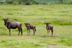 Para wildebeest Fotografia Stock