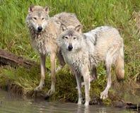 Para wilki wodą, mokra Zdjęcia Stock