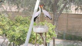 Para wystawiający rachunek bocianowy mycteria ibis chodzi wokoło na drzewie w Al Ain zoo zdjęcie wideo