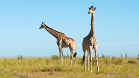 Para żyrafy Fotografia Royalty Free