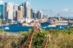 Para żyrafy pozuje przeciw Sydney CBD na tle Zdjęcie Stock