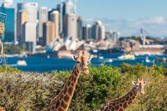 Para żyrafy pozuje przeciw Sydney CBD na tle Zdjęcia Royalty Free