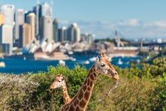 Para żyrafy pozuje przeciw Sydney CBD na tle Obrazy Royalty Free
