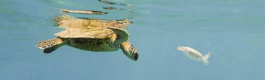 Para Zieleni Denni żółwie, Chelonia mydas Obraz Stock