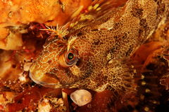 Parablennius gattorugine - Tompot blenny royalty free stock images