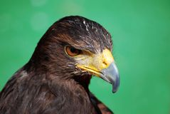 Parabuteo unicinctus Royalty Free Stock Photography