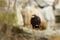 Parabuteo-unicinctus Ein mittelgroßer räuberischer Vogel der Geländeläuferfamilie, reichend von den südwestlichen Vereinigten Sta Stockbilder