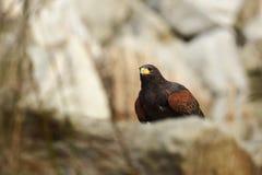 Parabuteo-unicinctus Ein mittelgroßer räuberischer Vogel der Geländeläuferfamilie, reichend von den südwestlichen Vereinigten Sta Lizenzfreie Stockfotos
