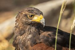 Harris Hawk, Parabuteo unicinctus. Bird of prey royalty free stock photos