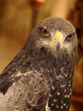 Parabuteo unicinctus - Harris hawk Stock Photography
