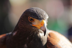 Parabuteo unicinctus head Royalty Free Stock Image