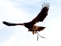 Parabuteo unicinctus - stående av den Harris falken på en ganska falco Royaltyfria Foton