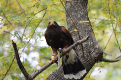 Parabuteo unicinctus on a tree Stock Images