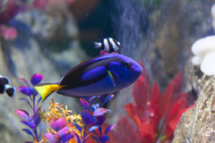 Paracanthurus and Clown Fish Royalty Free Stock Images