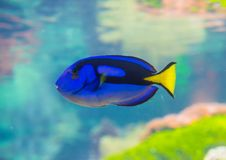 Paracanthurus fish. Paracanthurus hepatus is a species of Indo-Pacific surgeonfish. A number of common names are attributed to the species, including regal tang stock photos