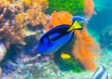 Paracanthurus fish. Paracanthurus hepatus is a species of Indo-Pacific surgeonfish. A number of common names are attributed to the species, including regal tang stock photography