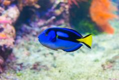 Paracanthurus fish. Paracanthurus hepatus is a species of Indo-Pacific surgeonfish. A number of common names are attributed to the species, including regal tang stock photo