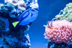 Paracanthurus hepatus, beautiful blue fish swimming in the aquarium with royal clownfish in the background royalty free stock images
