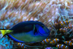 Paracanthurushepatus, beroemde exotische vissen in aquarium stock foto