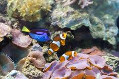 Paracanthurushepatus en clown van drie kleine aquariumvissen Stock Foto's