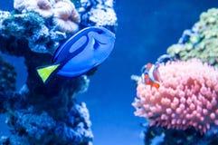 Paracanthurushepatus, mooie blauwe vissen die in het aquarium met koninklijke clownfish op de achtergrond zwemmen royalty-vrije stock afbeeldingen