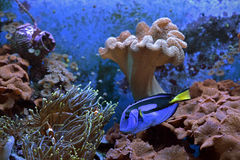 Paracanthurushepatus onderwater Royalty-vrije Stock Afbeelding
