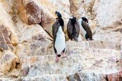 水生海鸟在秘鲁,南美,在Paracas全国保留的海岸,秘鲁加拉帕戈斯。Ballestas海岛 免版税库存图片